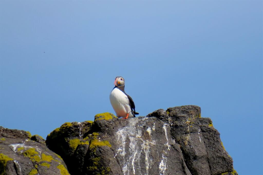 vedere i puffins