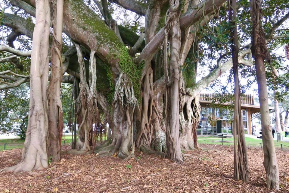 Devonport Banyan Tree
