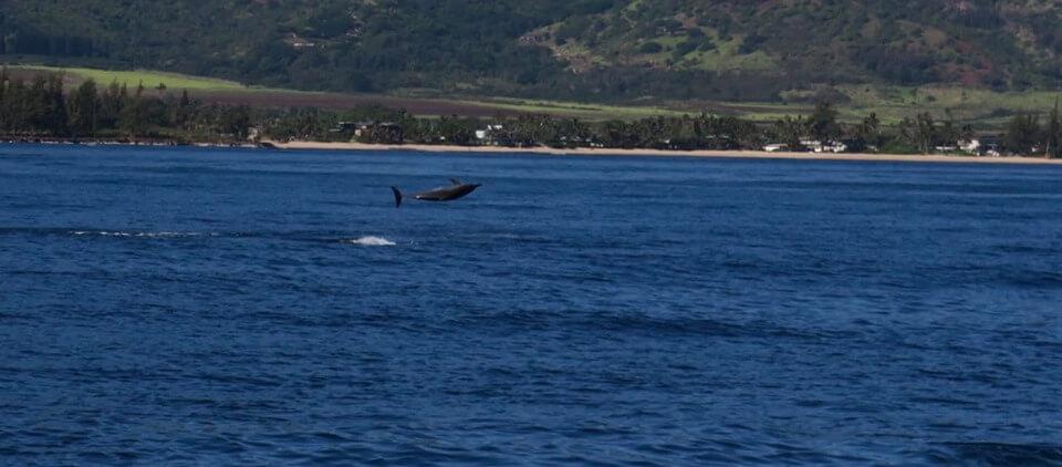 delfini sul North Shore di Oahu - Hawaii