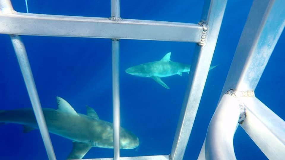 SHARK CAGE DIVING ALLE HAWAII