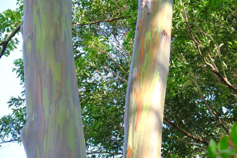 itinerario alle Hawaii - i Rainbow Trees