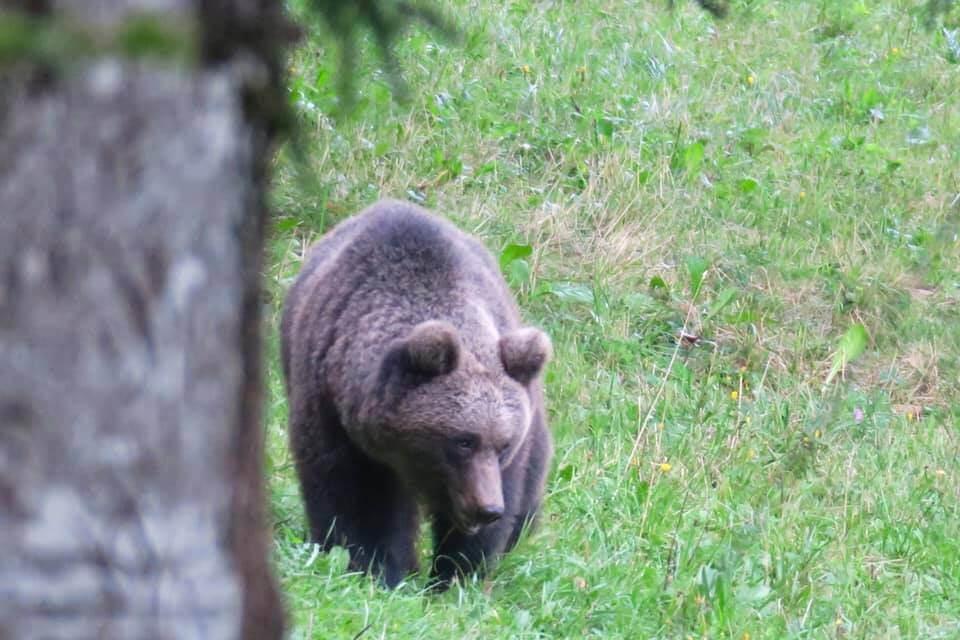 Vedere gli orsi in Slovenia - Maschio adulto