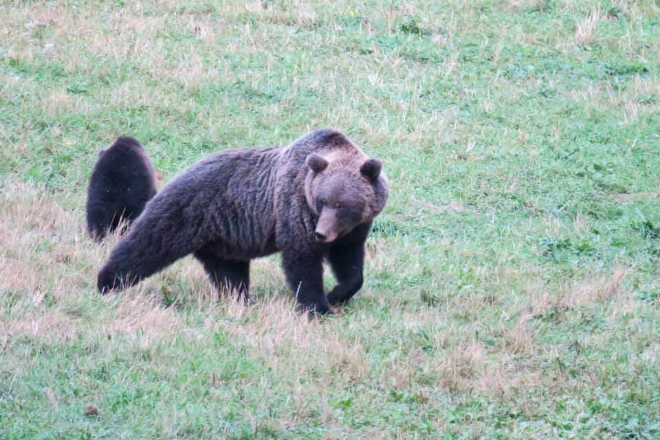 vedere gli orsi in Slovenia