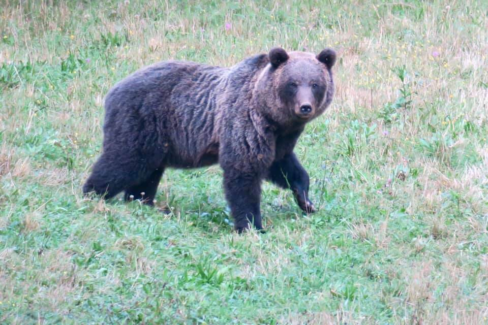 Bear watching in Slovenia - Maschio adulto