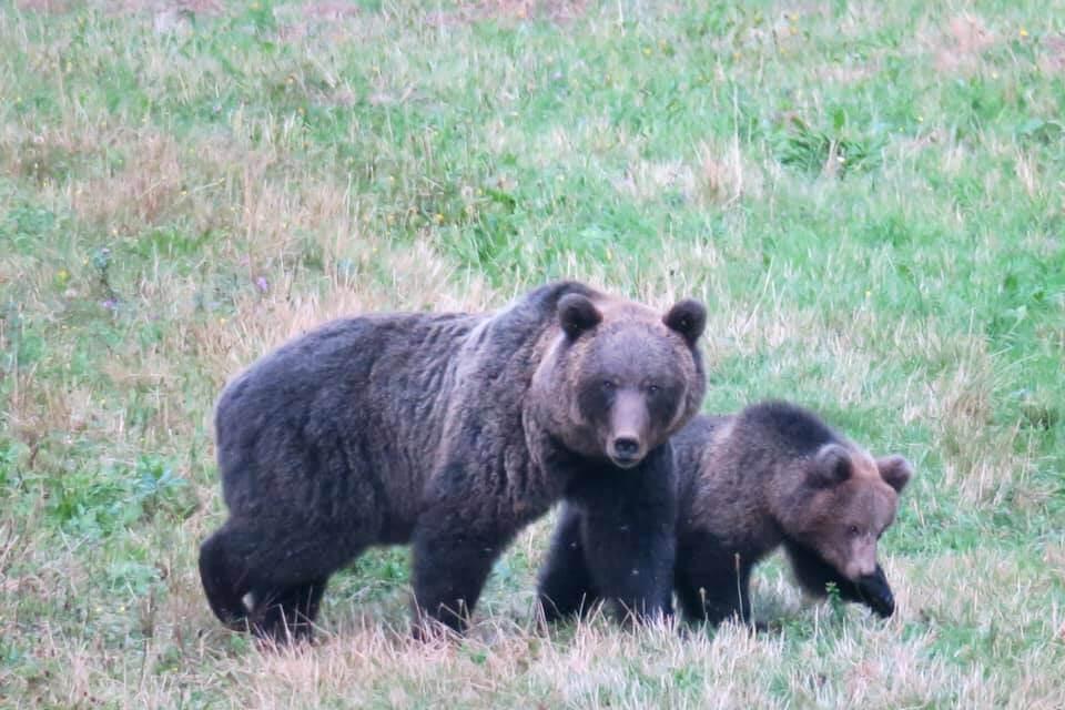 Bear watching in Slovenia - Mamma orsa con cucciolo